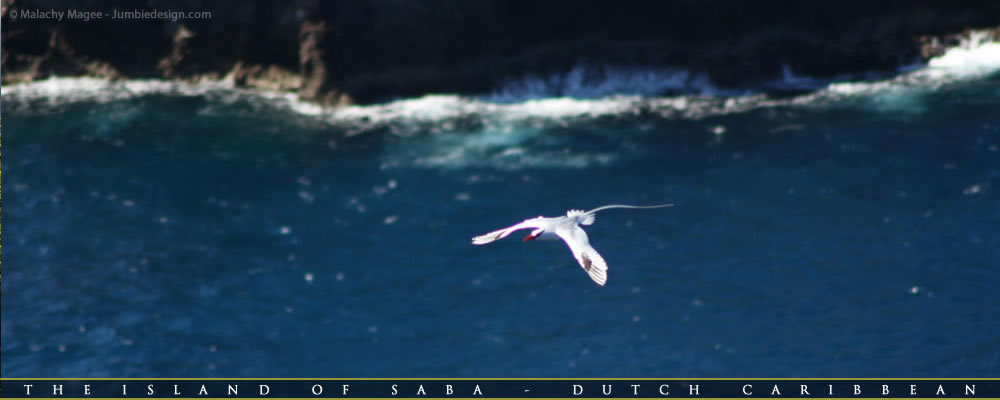 Red Billed Tropicbird - Green Island Saba